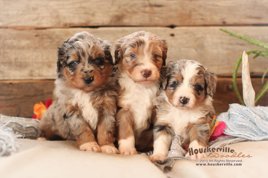 Colton, Carly, and Stetson (Petite F1 Aussiedoodles)