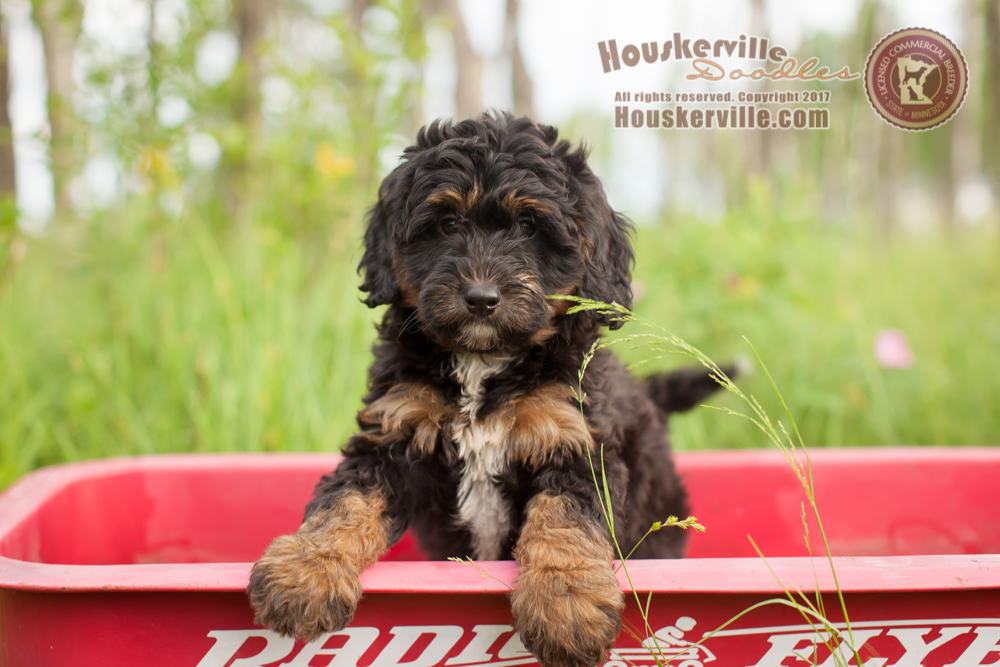 """""""Bentley"""" - 9 weeks old (available as of 6-24-17)"""